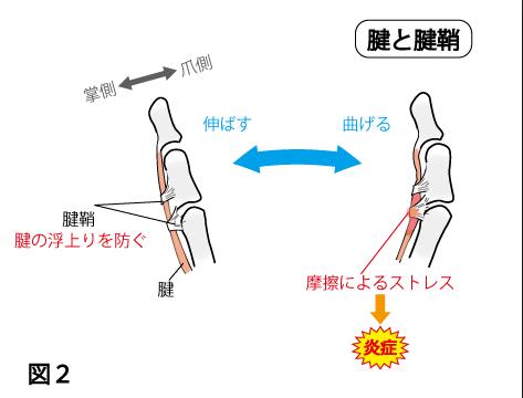 パイプ構造になっている鞘(さや)の中を、腱(けん)が通っており、それが伸縮することで、指を曲げている。